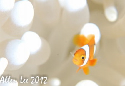 Juvenile Anemonefish.Nikon D80,105mmVR,f11,1/100,YS-120*2 by Allen Lee 